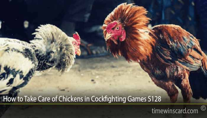 How to Take Care of Chickens in Cockfighting Games S128